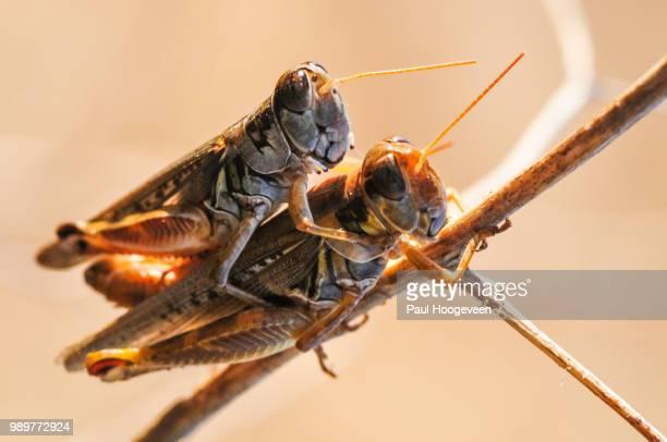 grasshopper duo @ vernon - begattung kopulation paarung stock-fotos und bilder