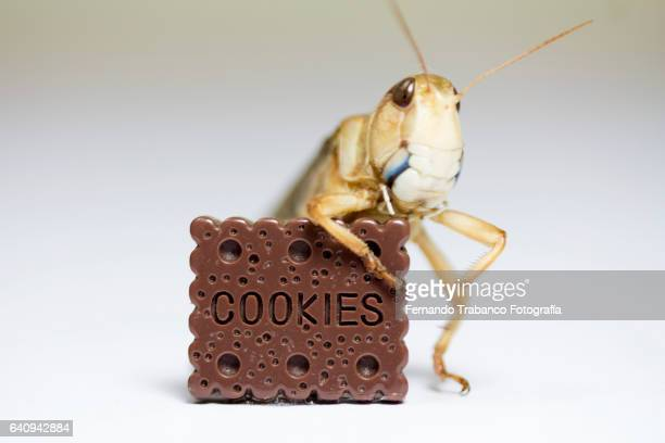 grasshopper eats a chocolate chip cookie for breakfast - cricket insect stock photos and pictures