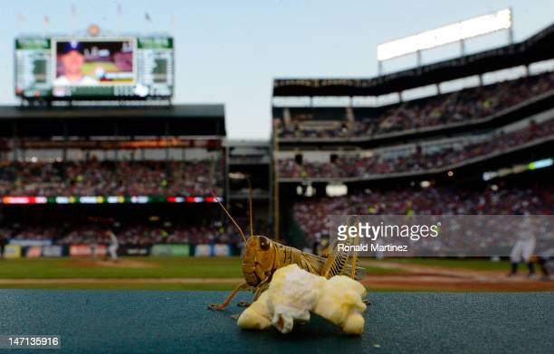 A grasshopper eats a piece of popcorn during a game between the Detroit Tigers and the Texas Rangers at Rangers Ballpark in Arlington on June 25 2012...