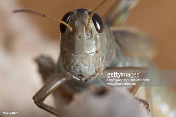 A Grasshopper Head - On