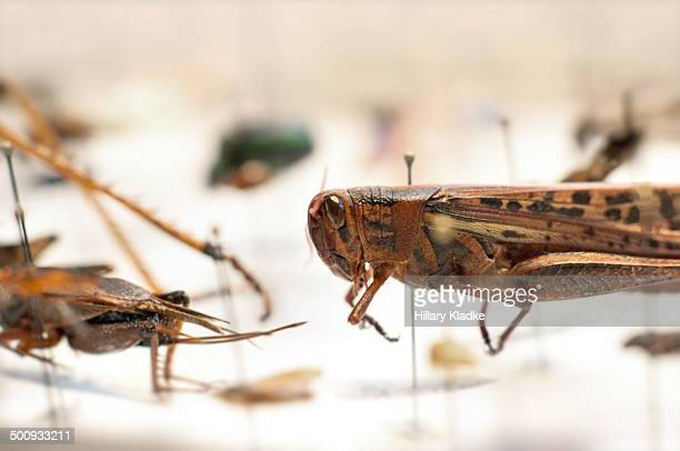 Grasshopper in bug collection