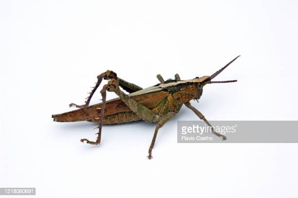 grasshopper isolated on white background - cricket insect stock pictures, royalty-free photos & images