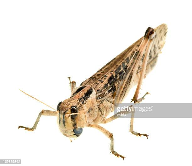 grasshopper locust on white background - cricket insect photos stock pictures, royalty-free photos & images