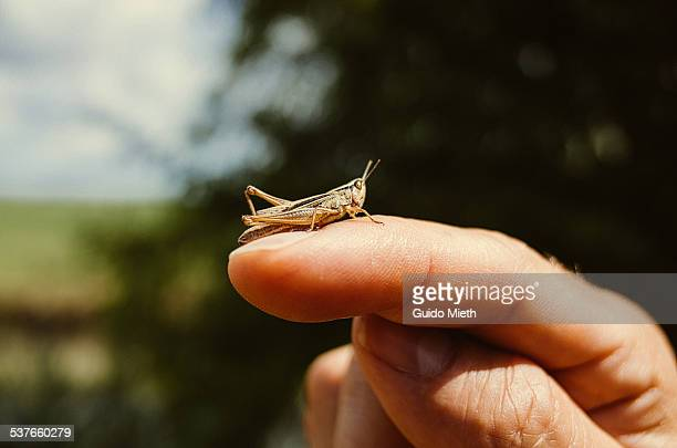 Grasshopper on a finger