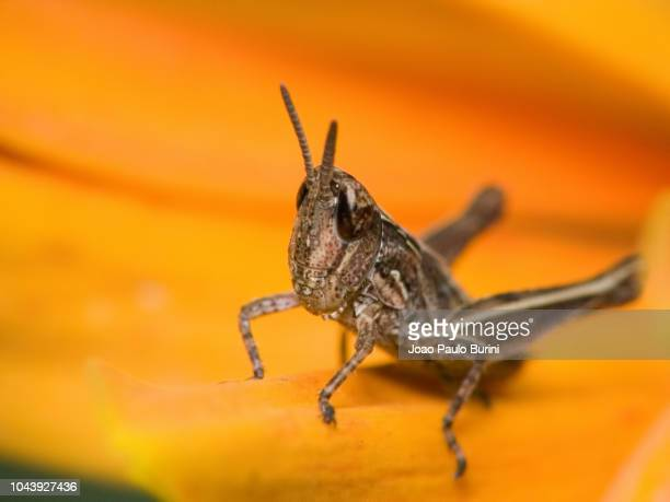 grasshopper on a flower - sorocaba stock pictures, royalty-free photos & images
