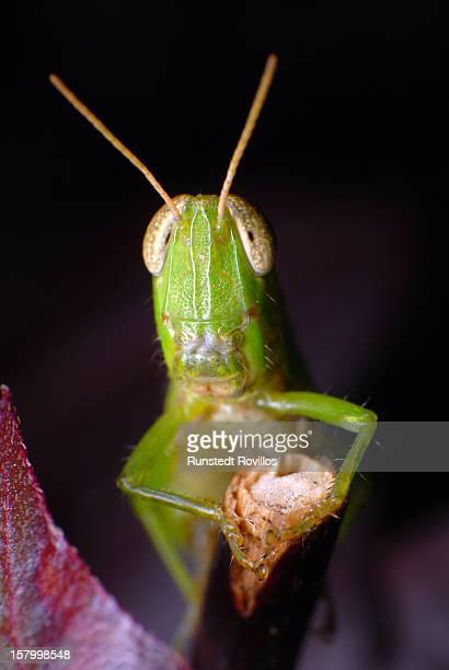 grasshopper on a twig