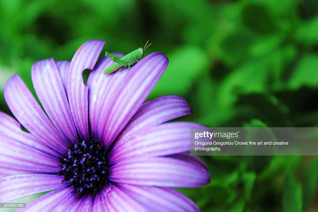 Grasshopper on flower : Stock Photo
