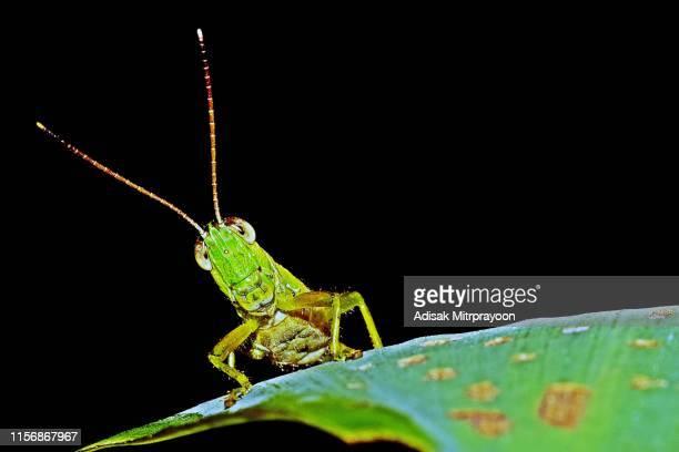 grasshopper on leaf - background template. - cavalletta foto e immagini stock