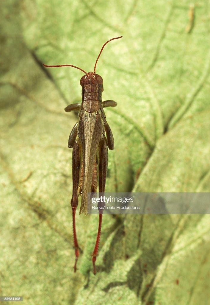 Grasshopper on lettuce leaves : Stock Photo