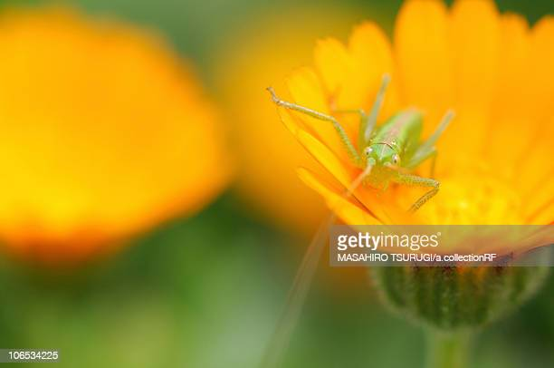 Grasshopper on marigold (Calendula)