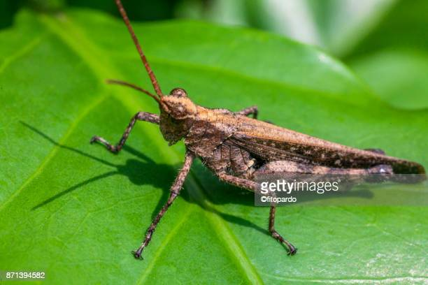 grasshopper over a coffee plant leaf - cricket insect stock pictures, royalty-free photos & images