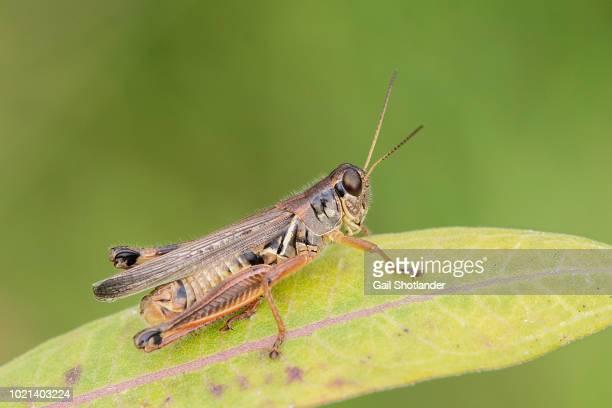 Grasshopper (red belly)
