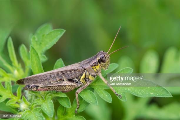 Grasshopper (Yellow belly)