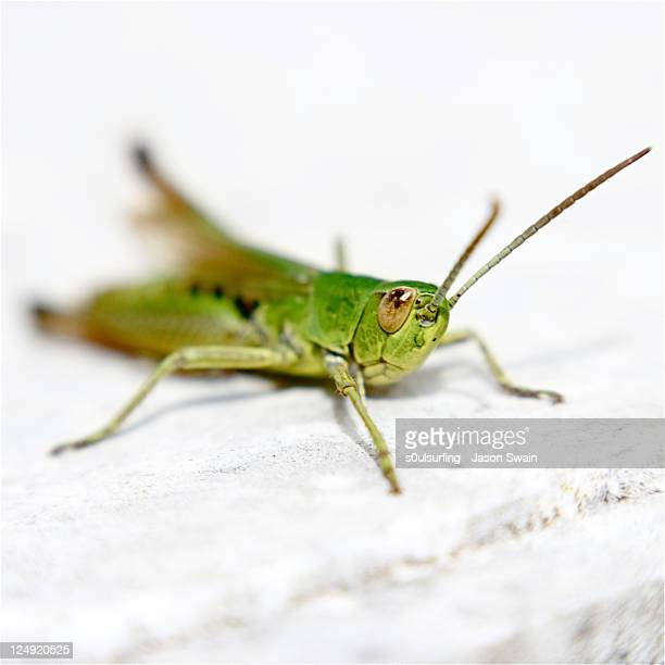 grasshopper - s0ulsurfing stock pictures, royalty-free photos & images
