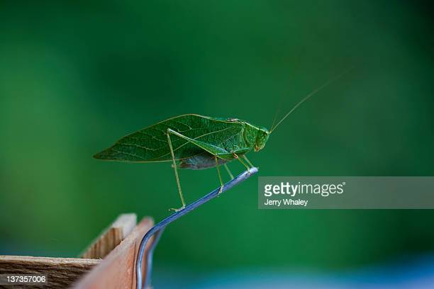 grasshopper - jerry whaley stock pictures, royalty-free photos & images