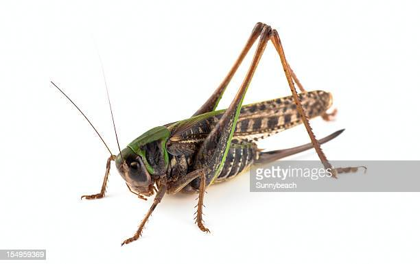 grasshopper - cricket insect stock photos and pictures