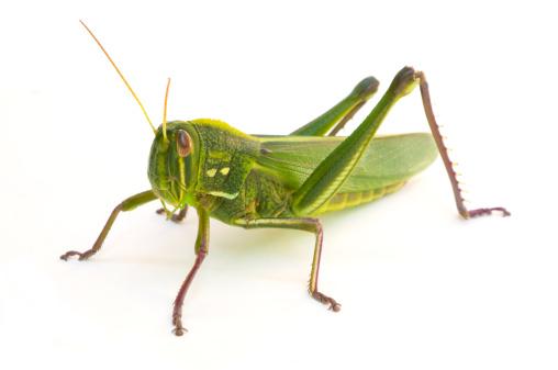 Grasshopper 155095890