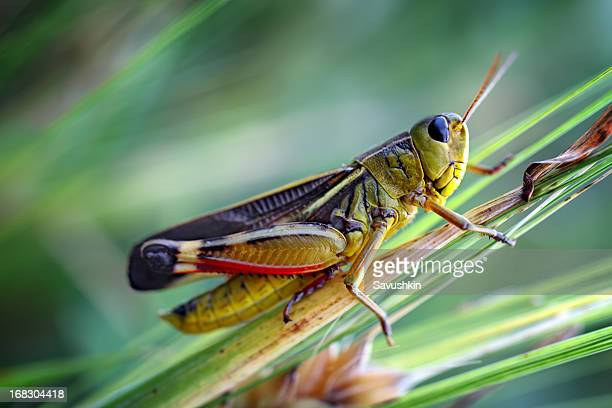 grasshopper - cricket stock pictures, royalty-free photos & images