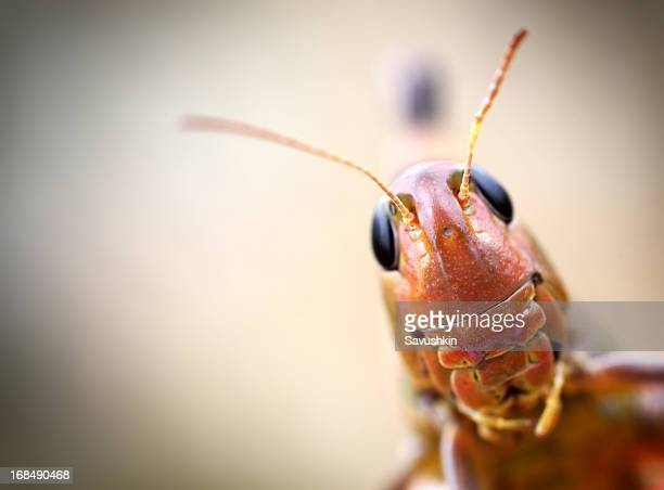 grasshopper - cricket insect stock pictures, royalty-free photos & images