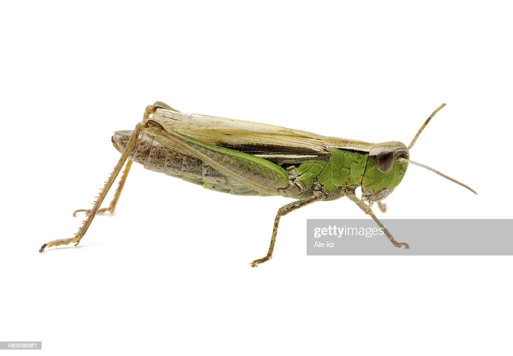 grasshopper : Stock Photo