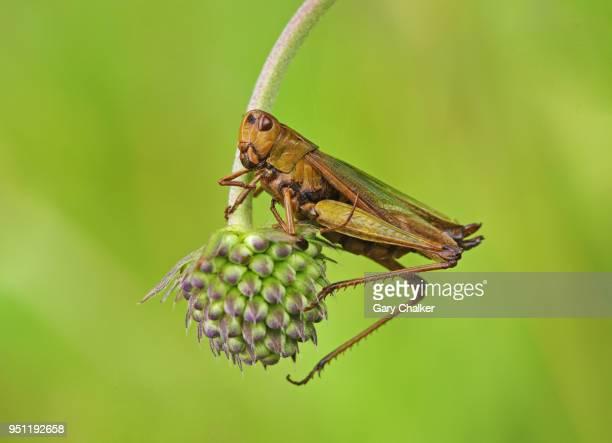 grasshopper - cavalletta foto e immagini stock