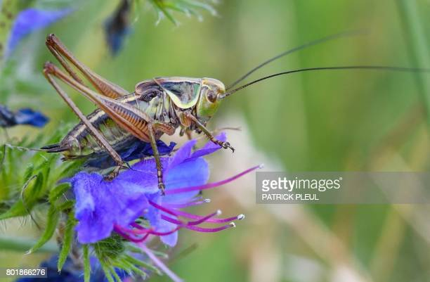 A grasshopper rests on a flower in a meadow near Reitwein in the Oderbruch region northeastern Germany on June 26 2017 / AFP PHOTO / dpa / Patrick...