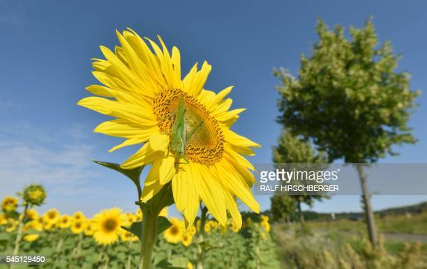 TOPSHOT A grasshopper rests on a sunflower in a field near Zauchwitz eastern Germany on July 4 2016 / AFP / dpa / Ralf Hirschberger / Germany OUT