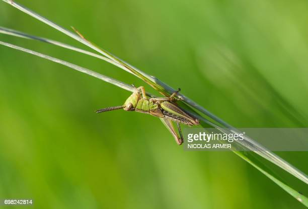A grasshopper sits on a blade of grass on June 19 2017 near Sand am Main southern Germany / AFP PHOTO / dpa / Nicolas Armer / Germany OUT