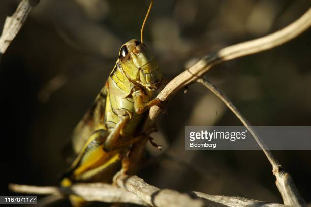 A grasshopper sits on a canola plant on a farm near Grosse Isle Manitoba Canada on Saturday Sept 7 2019 Canada's canola inventory rose to a record at...