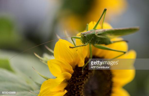 A grasshopper sits on a sunflower in Freiburg southwestern Germany on July 20 2017 / AFP PHOTO / dpa / Patrick Seeger / Germany OUT