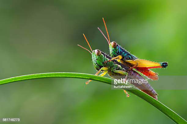 Grasshopper sitting on top of another grasshopper
