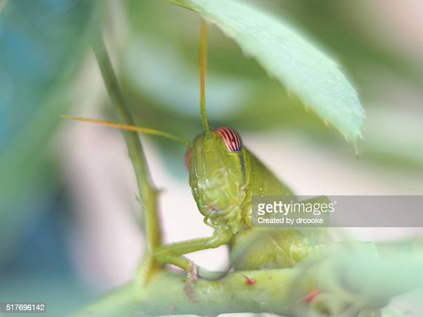 Grasshopper standing on a rose branch