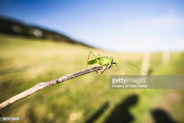 Grasshopper Up Close At On A Stick