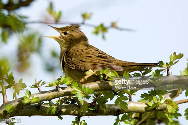 grasshopper warbler (locustella naevia) - warbler stock pictures, royalty-free photos & images