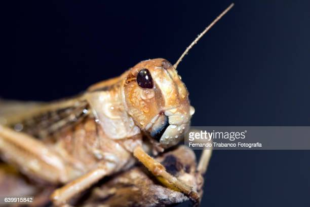 grasshoppers in the rain - cricket insect stock photos and pictures