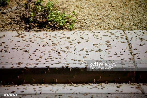 Grasshoppers swarm a sidewalk a few blocks off the Strip on July 26 2019 in Las Vegas Nevada Massive swarms of grasshoppers have descended on the Las...