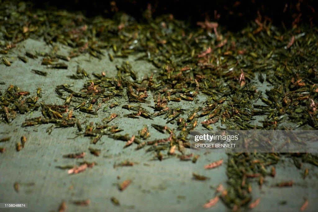 US-NEVADA-GRASSHOPPERS-OFFBEAT : News Photo