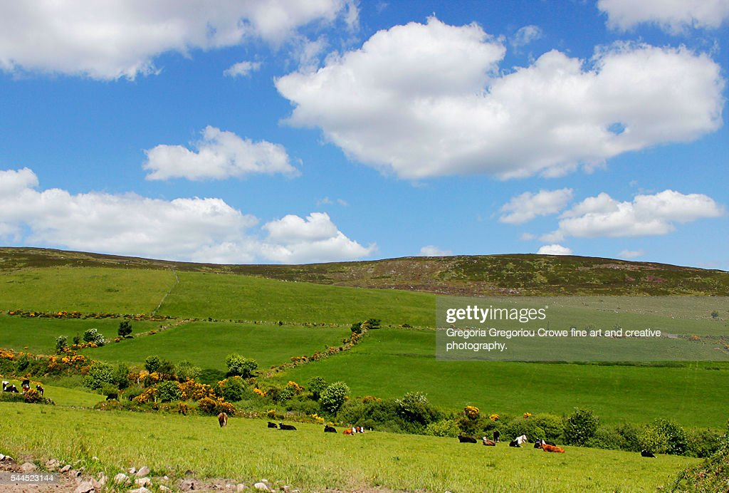 Grassland And Cows : Stock Photo