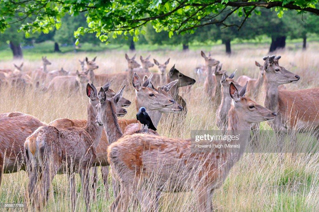 Grassland Red Deer and a Tick Bird : Stock Photo