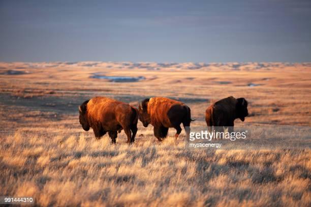 grasslands national park saskatchewan canada - saskatchewan stock pictures, royalty-free photos & images