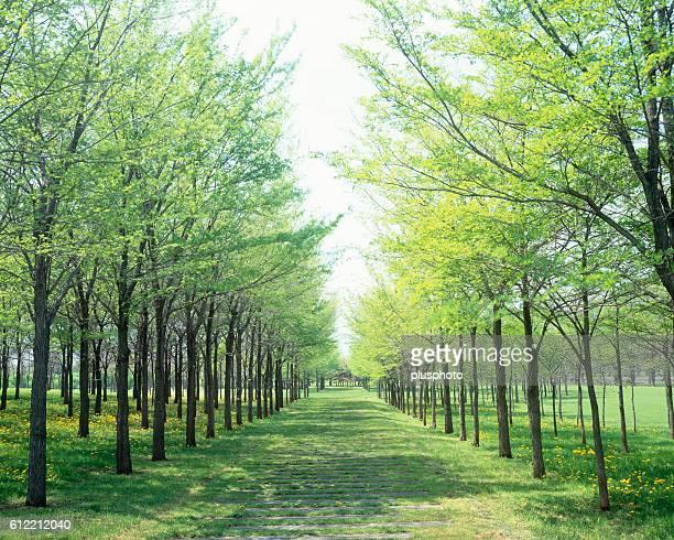 A grassy road lined with trees. Sapporo, Hokkaido, Japan