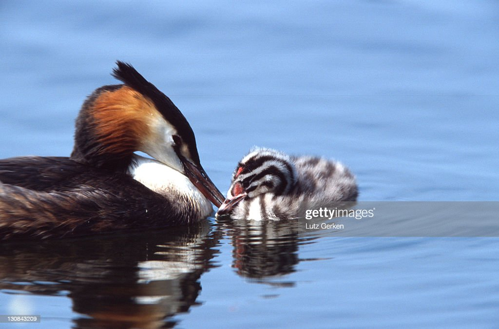 Grat crested grebe : Stock Photo