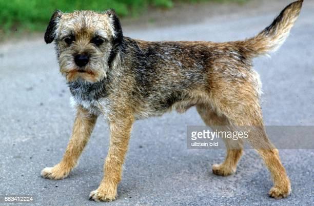 border terrier ストックフォトと画像 getty images