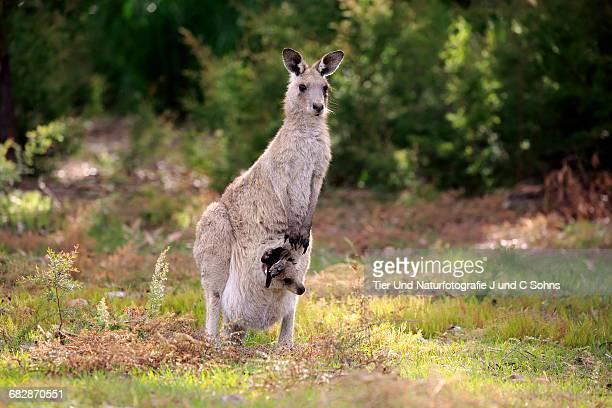 Graues Riesenkaenguru, (Macropus giganteus)