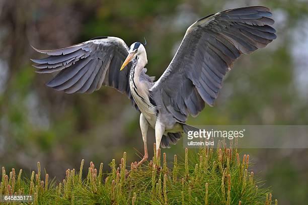 Graureiher Grey Heron