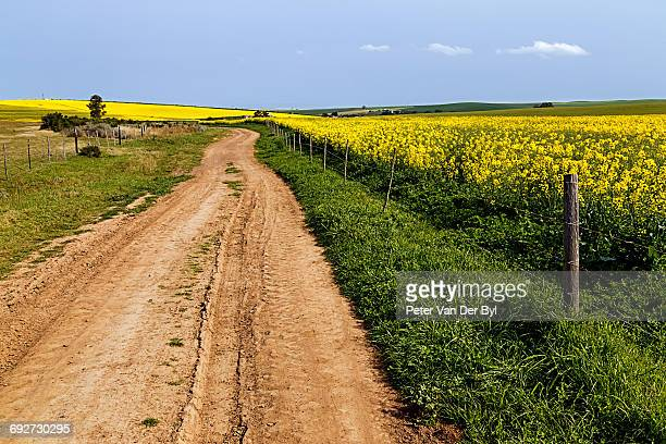 A gravel farm road fringed with green grass leading through the contrasting yellow flowering canola field, Swellendam, Western Cape Province, South Africa