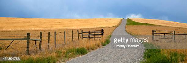 gravel farm road leading to wheat fields - timothy hearsum stock photos and pictures