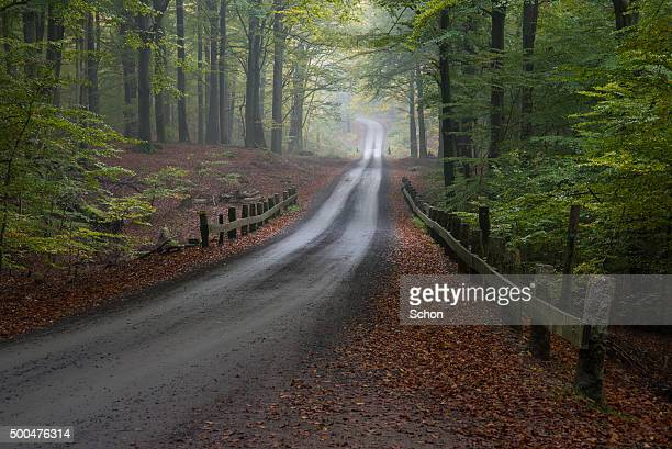 Gravel road in the beech forest
