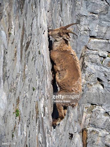 Gravity-defying Wild Ibex Goat Climbing On Cingino Dam To Lick The Saltpetre Off The Stones