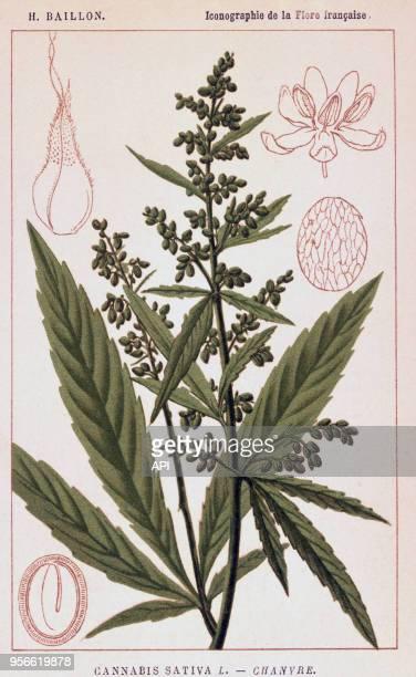 Gravure de botanique de la 'Flore française' de Baillon représentant le chanvre ou cannabis sativa
